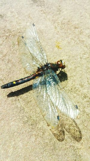 Dragonfly Nature Insect Wings Beautiful Spirituality Close Up Defined  Details Of Nature Intriguing Rescued Frog Food Pond Life
