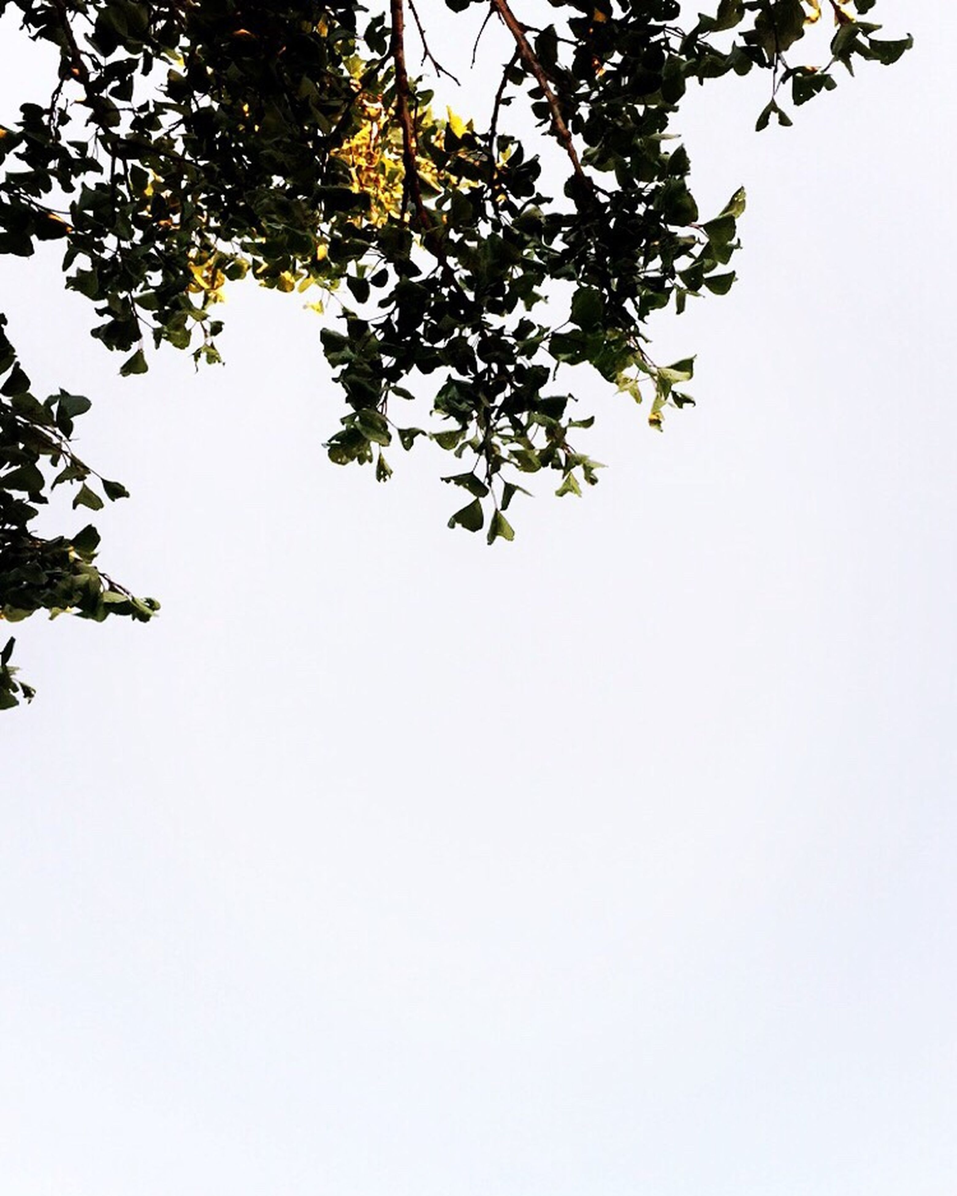 branch, tree, leaf, low angle view, copy space, clear sky, growth, nature, leaves, beauty in nature, day, sky, tranquility, scenics, tranquil scene