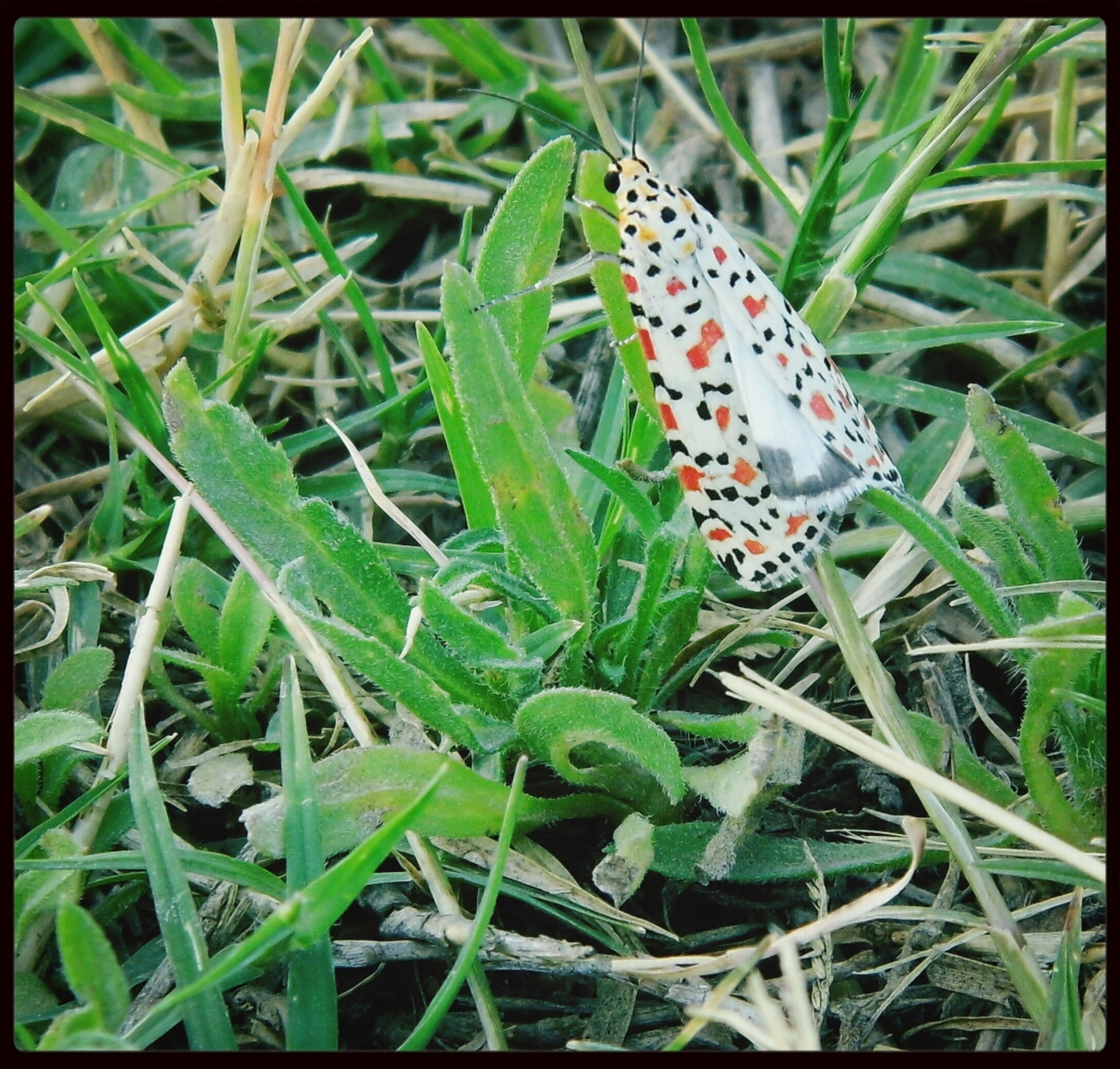 insect, animals in the wild, animal themes, wildlife, one animal, butterfly - insect, green color, close-up, plant, butterfly, growth, leaf, nature, animal markings, grass, beauty in nature, spotted, natural pattern, field, day