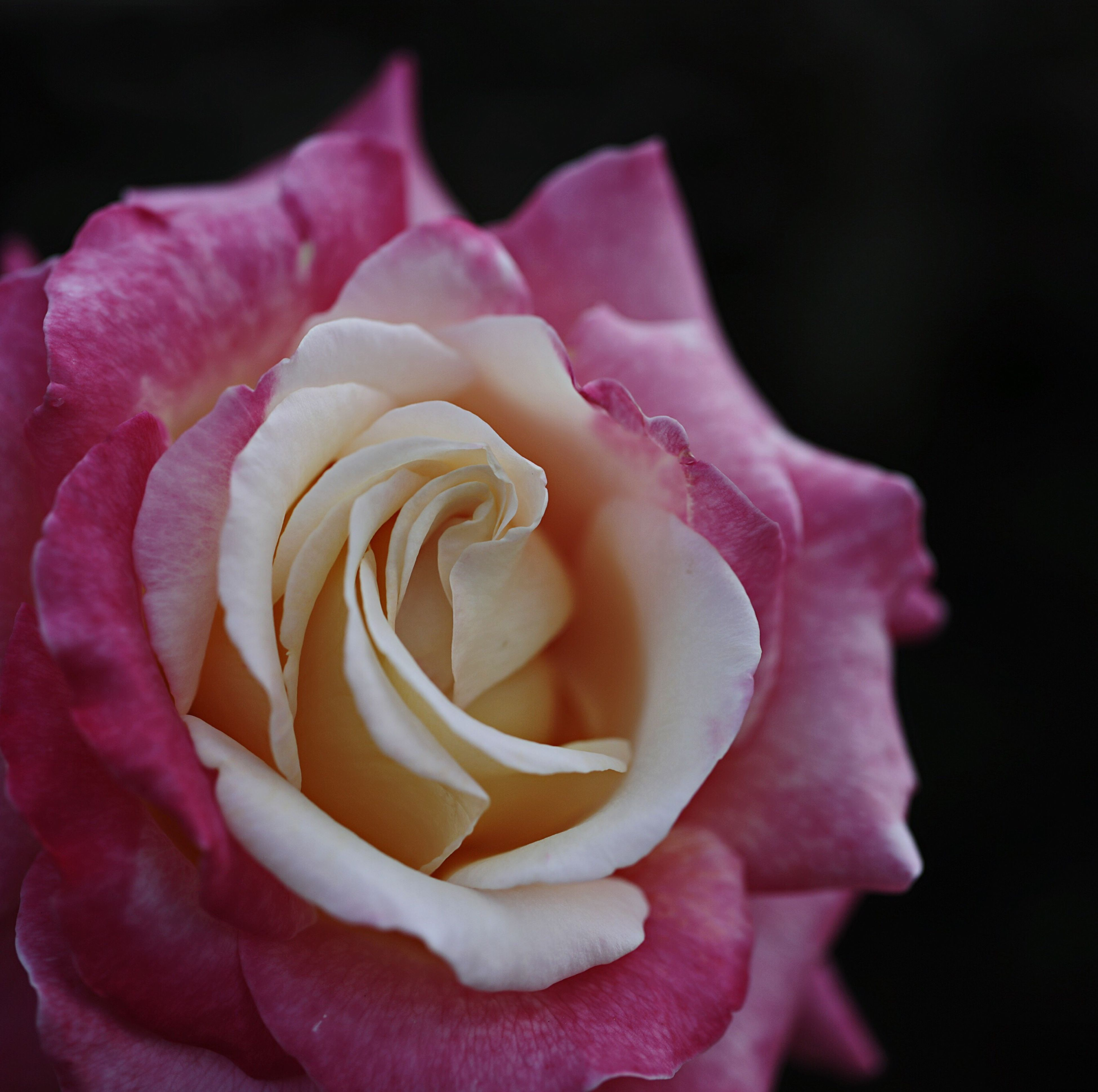 flower, petal, nature, beauty in nature, flower head, rose - flower, growth, plant, love, beauty, blooming, softness, freshness, fragility, individuality, blossom, no people, outdoors, close-up