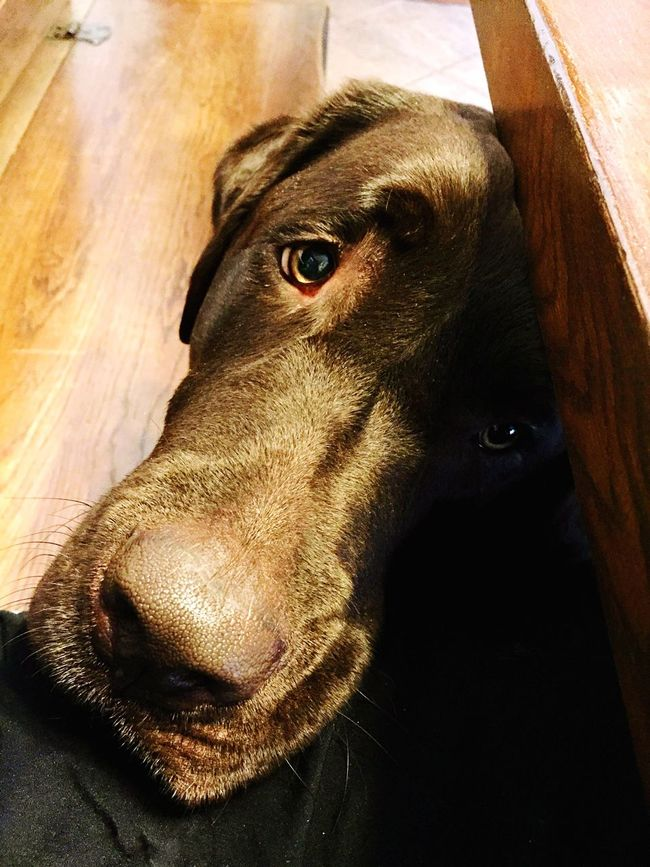 Nutrimi.. Ti prego... Lunch Time! Labrador Labradorchocolate Pranzotime Dammidamangiare Vitadacane Caneviziato Lifedog LabradorRetriever Labradorable
