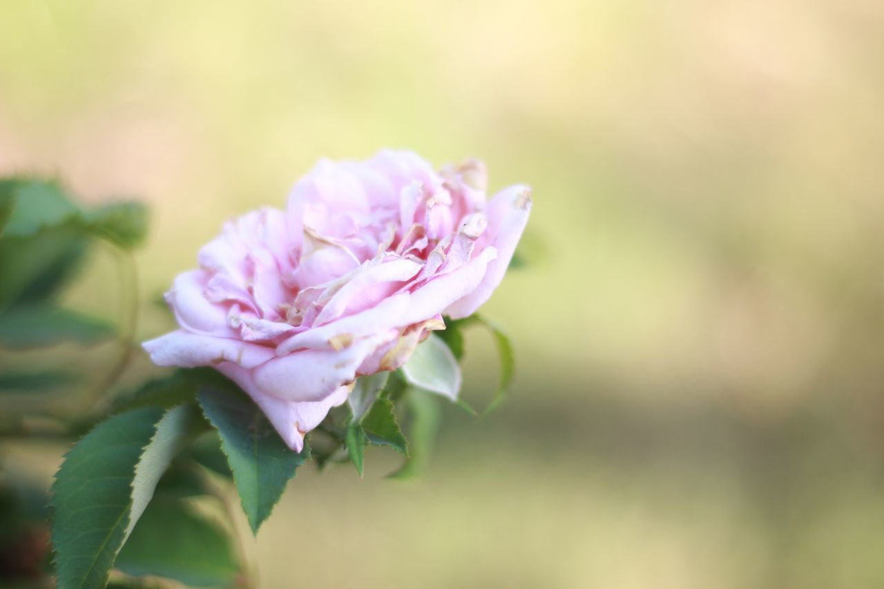 flower, nature, petal, pink color, beauty in nature, no people, plant, fragility, growth, focus on foreground, close-up, freshness, flower head, outdoors, leaf, day, blooming