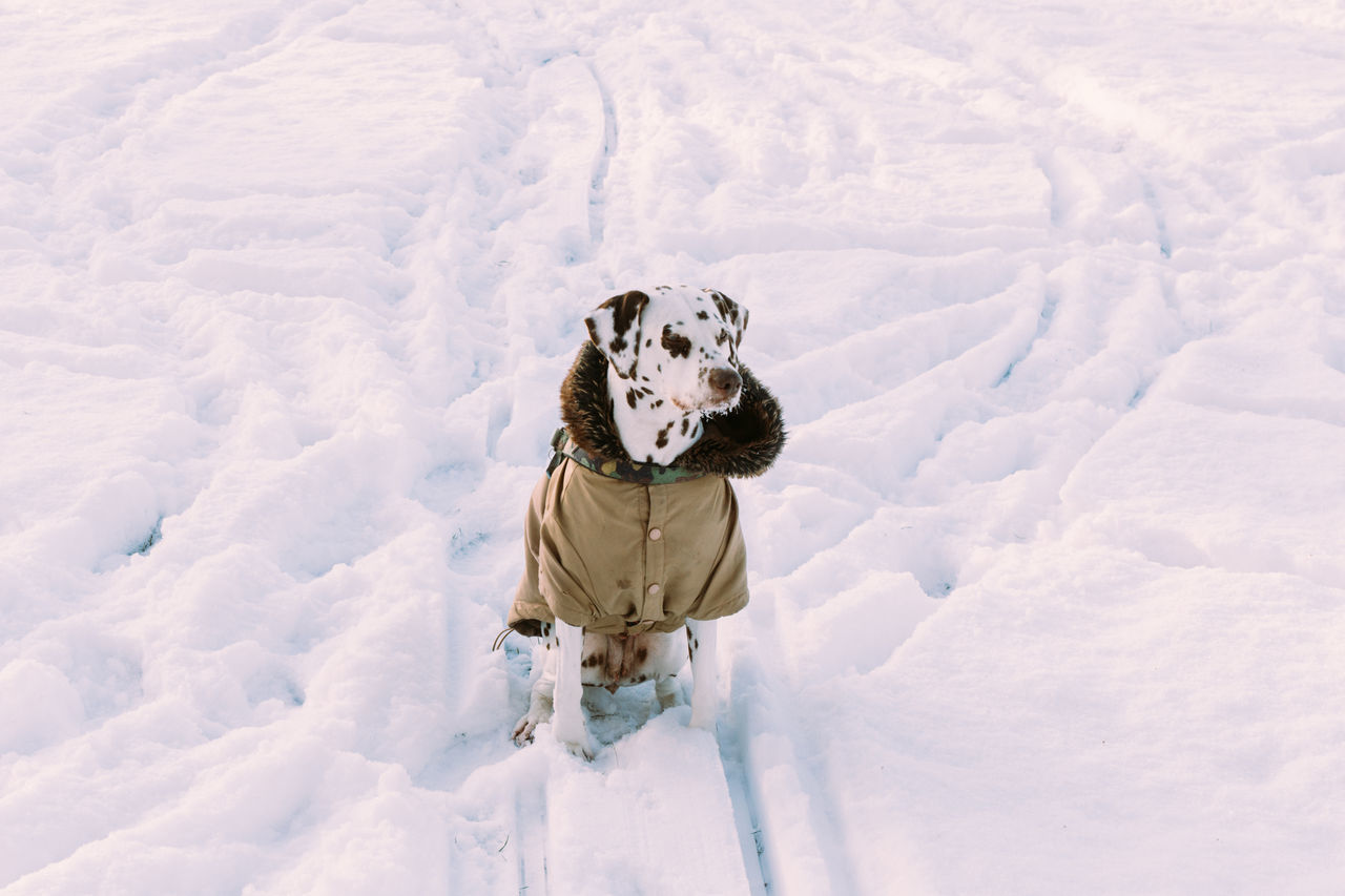 Beautiful stock photos of pets, Animal Themes, Cold Temperature, Dalmatian Dog, Day