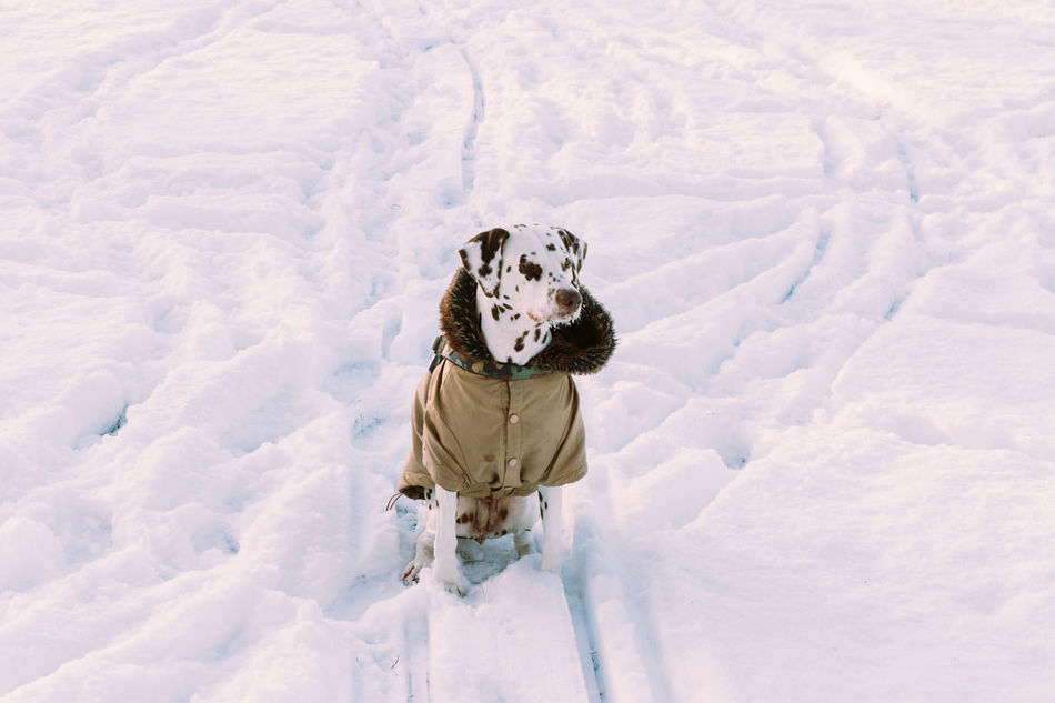 Beautiful stock photos of dogs, Animal Themes, Cold Temperature, Dalmatian Dog, Day