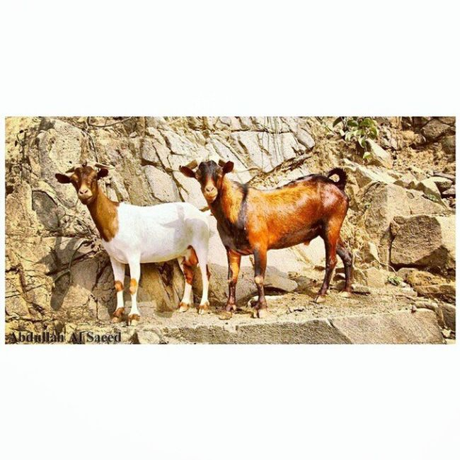 صورة غنم  ماعز جبلي بالقرب من فيفا في جازان جنوب المملكة العربية السعودية كاميرة كانون 50d Image of a mountain goat sheep near the Viva in Jizan, Saudi Arabia South Camcorder Canon 50d