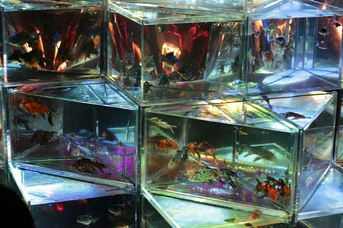 まずは次の写真をご覧頂こうッ!! これ等全てが金魚という実態ッ!!そして、、自然界には存在し得ない生命体という事をあなた方はご存知だろうかッ!!((;゚Д゚)ガクガクブルブル Gold Fish Japanese Culture 日本橋 COREDO室町 Art Aquarium2015 Talking Photos Open Edit Hello World Eyemphotography Tokyo,Japan