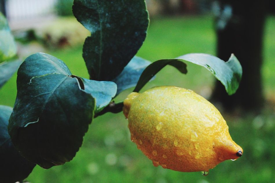 Lemon after rain... Fruit Focus On Foreground Growth Close-up Leaf Food And Drink Freshness Day Citrus Fruit No People Outdoors Nature Green Color Food Healthy Eating Beauty In Nature Water Tree