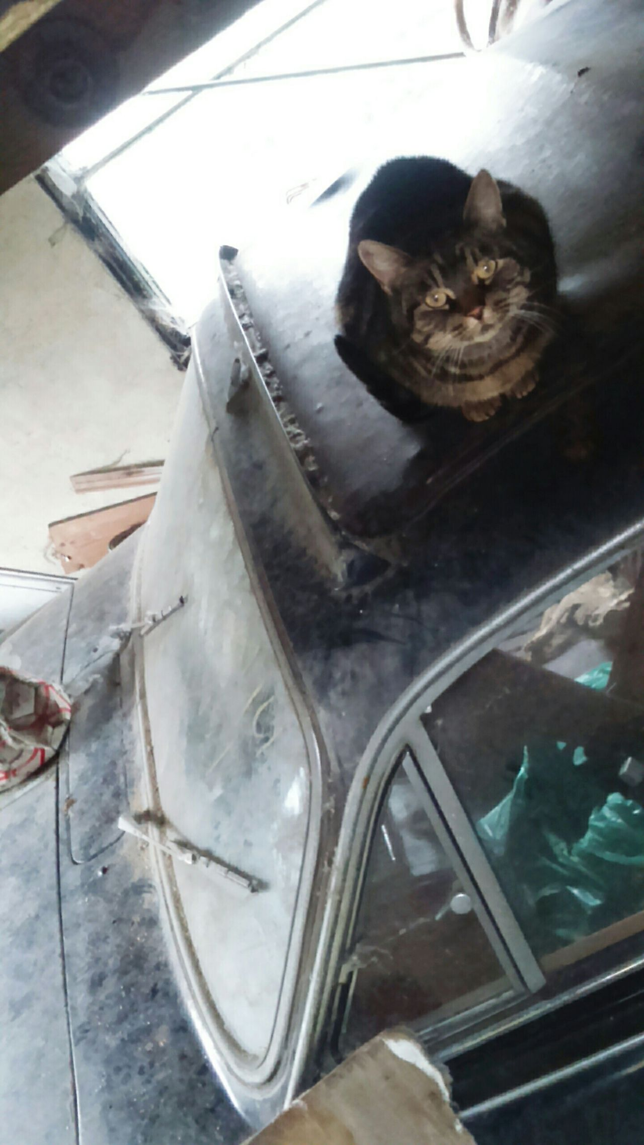 Cat Random Cat Moggy Cat On A Roof Car Cars Vintage Vintage Car Vintage CarsOld Car Old CarsRusty Car Old Rusty Car Dusty Garage Auto Rusty Autos Rusty Metal Rusted In The Garage Classic Car Classic Cars Vehicle Vehicles Cats In Random Places One Cat