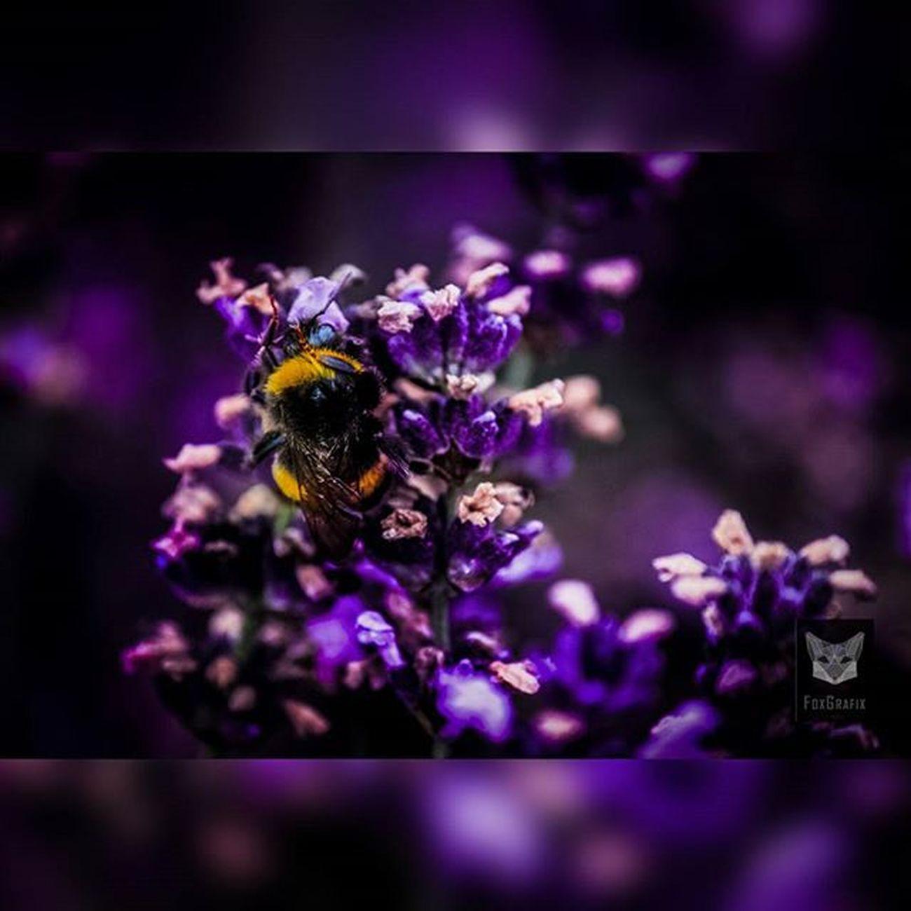 Bumblebee makes Sport :D Fotografie Salzgitter Naturfoto Naturephotography Macro Bumblebee Hummel Lavendel Lavender Lavenderfield Lavendelfeld Photographyislife Photgraphy Macrofoto Makrophotography