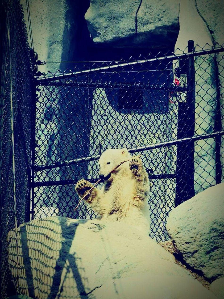 Polar Bear Toronto Zoo Playing With A Stick. I Love Them Favorite Animal Awww So Cute <3 I Want One  EyeEm Best Shots Eye4photography