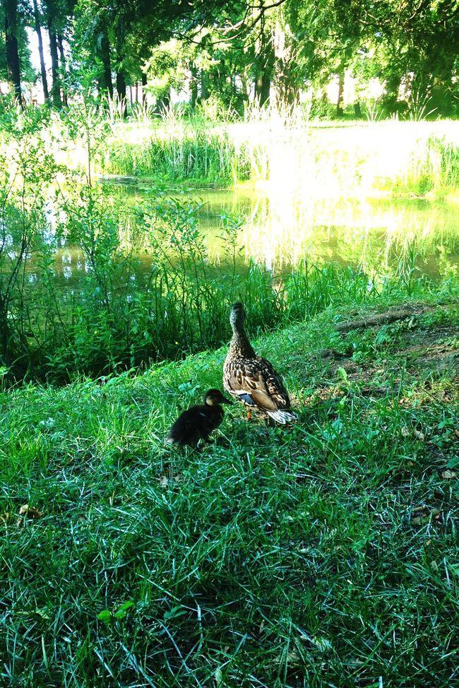 ботанический сад Spb Nature Landscape утка утёнок трава Grass Ландшафт