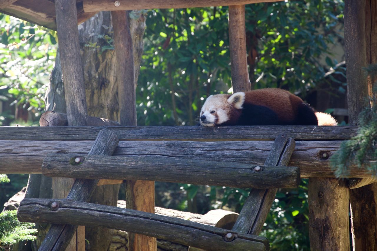 Animal Themes Animal Wildlife Animals In The Wild Day Forest Lying Down Mammal Nature No People One Animal Orange Orange Color Outdoors Panda - Animal Red Red Panda Rest Resting Stairs Tree Trees Wood - Material Zoo