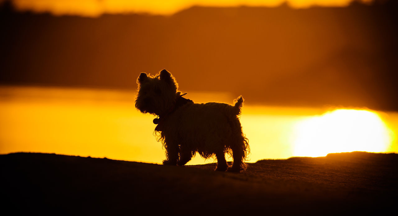 West Highland White Terrier On Field During Sunset