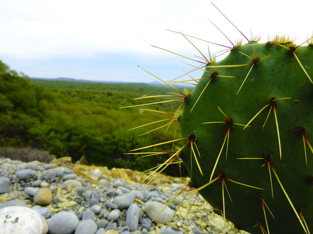 Nopal🌵 Beauty In Nature EyeEm Nature Lover Green Nature Nature Photography Nopal Plant Taking Photos