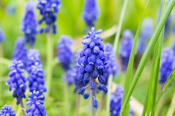 Grapy Hyacinths Outdoor Beautiful Field Grass Close-up Flowering Spring Plants Garden Freshness Colors Green Growing Growth Nature Violet Purple Blooming Muscari Flowers Grape Hyacinths Hyacinths Seasons