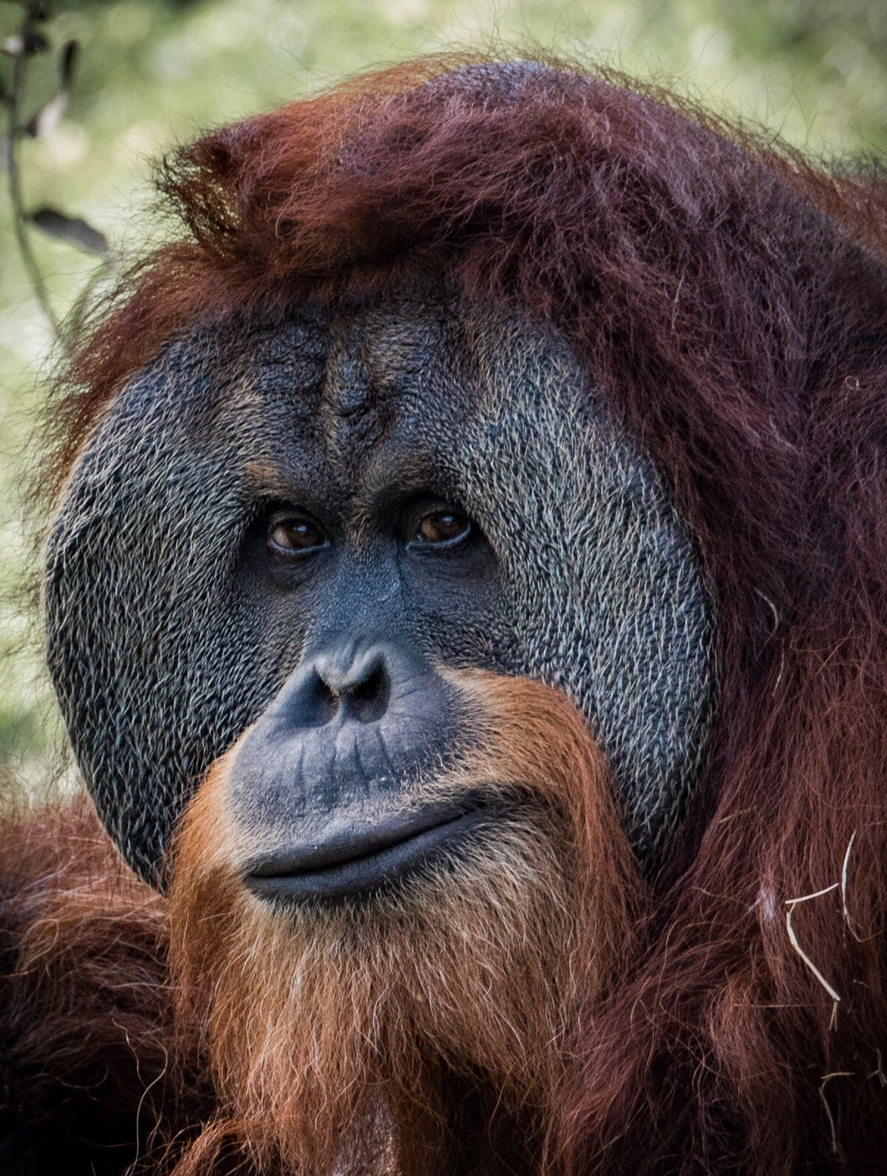 Up close and personal Orangutan Mammal Ape Primate Animal Themes Monkey Animal Hair Animals In The Wild Animal Wildlife Close-up No People One Animal Portrait Brown Nature Outdoors Gorilla Animal Body Part Day Portrait Photography Portraits Zoo Animals  Zoology Zoo Finding New Frontiers