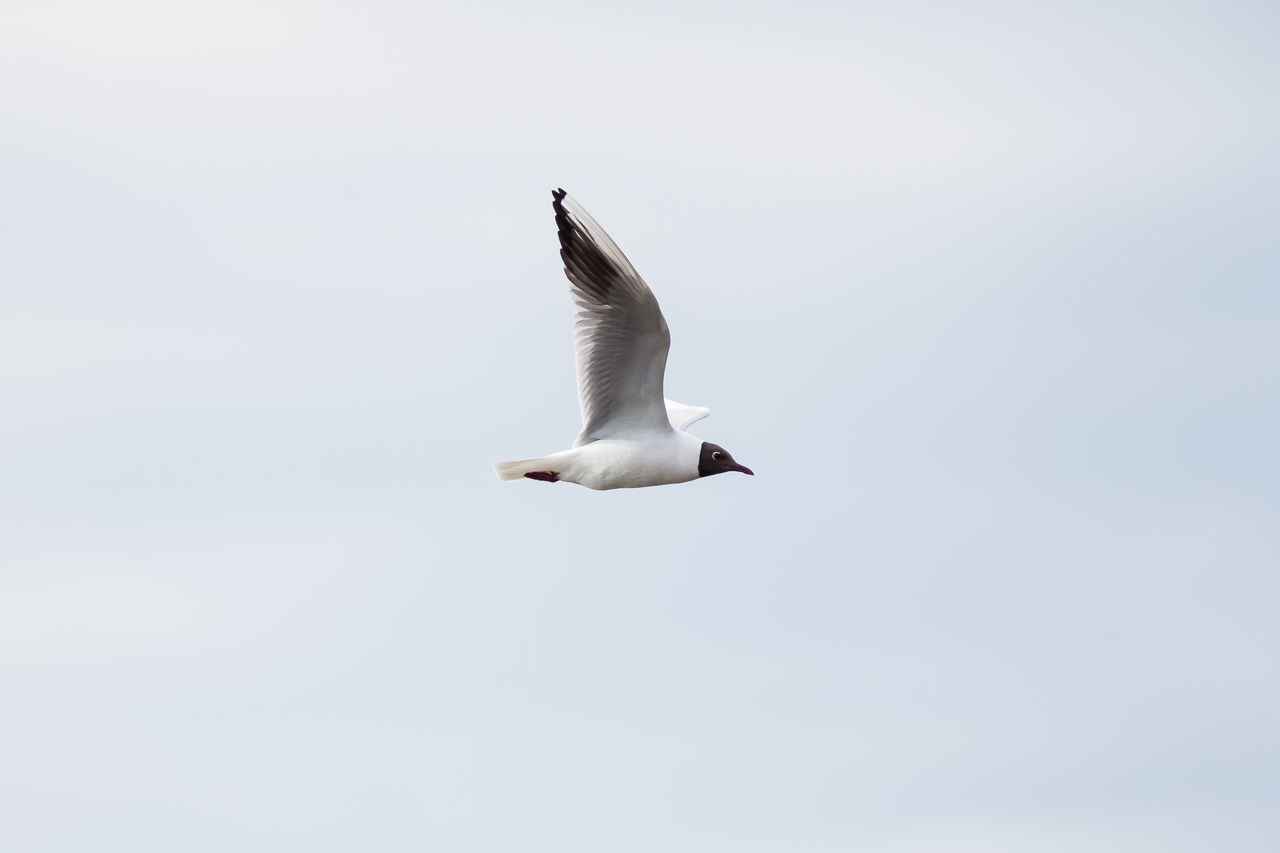 black-headed gull, flying Animal Wildlife Bird Bird Photography Birds Birds Of EyeEm  Birds_collection Black-headed Gull Charadriiformes Chroicocephalus Ridibundus Lachmöwe Lachmöwen Lachmöwen Im Flug Laridae Möwen Natur Nature Nature Photography Nature_collection Seevögel Vogel