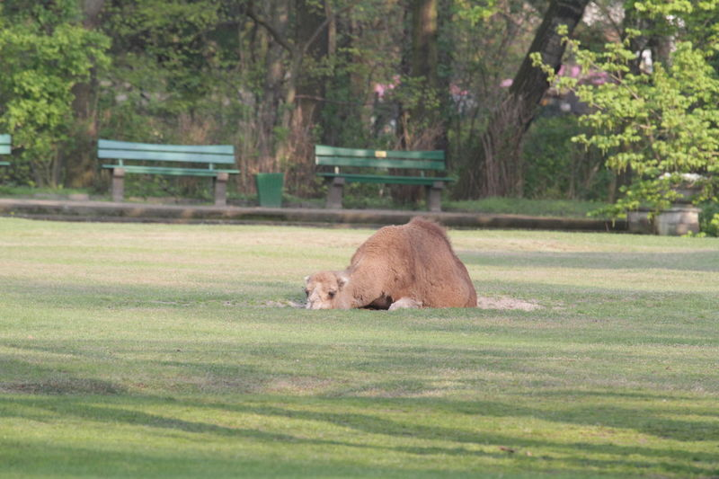 Animal Themes Camel Chilling Day Dromedar Escaped Grass Laying Lost Mammal One Animal
