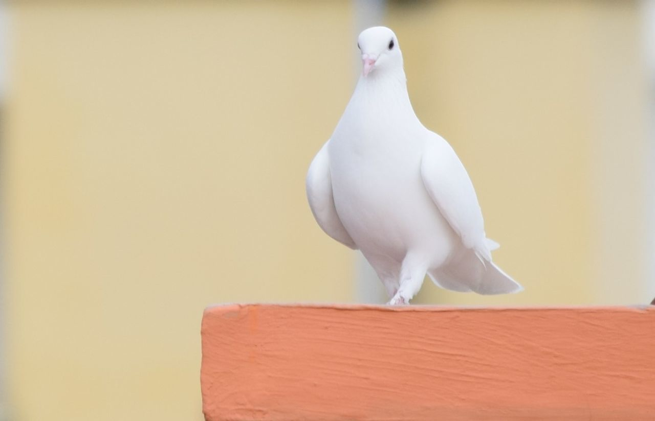 Beautiful stock photos of dove,  Animal Wildlife,  Animals In The Wild,  Bangalore,  Bird