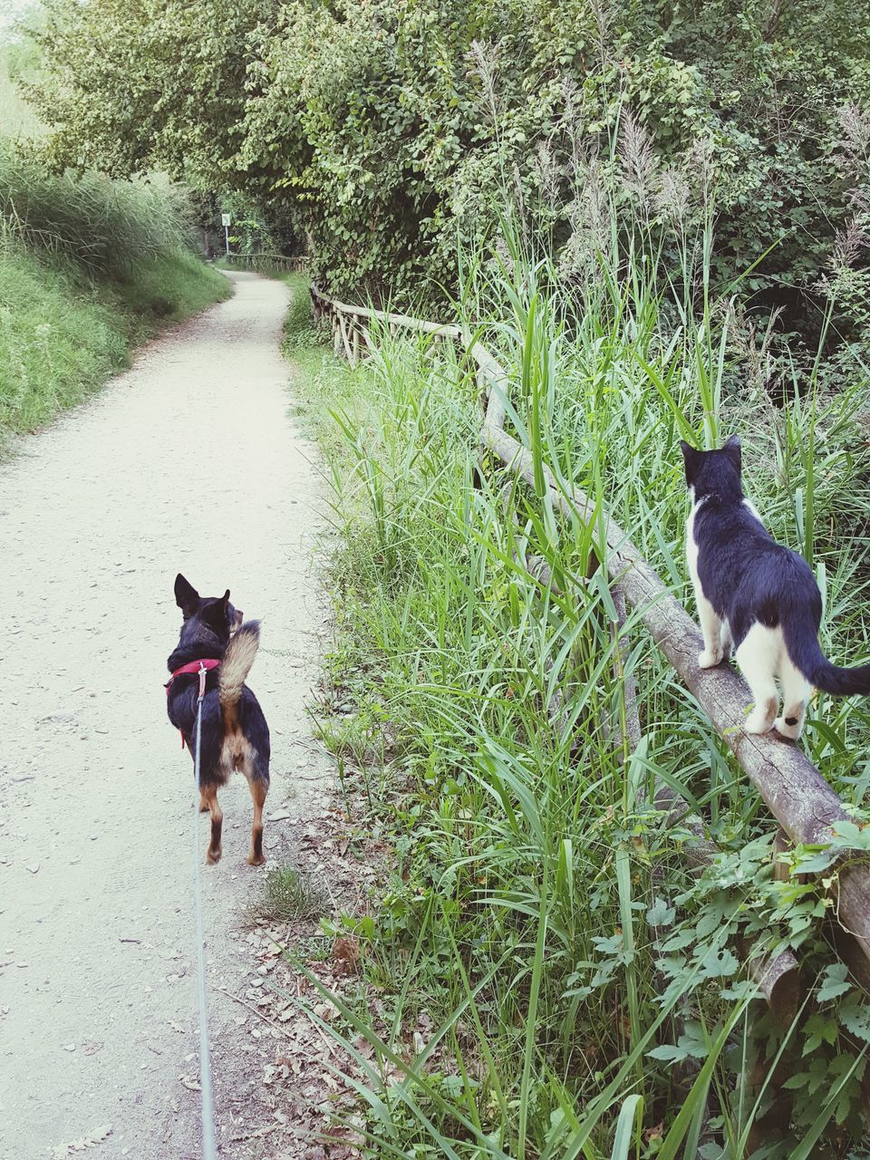 pets, dog, domestic animals, animal themes, mammal, two animals, grass, high angle view, german shepherd, day, outdoors, pembroke welsh corgi, no people, black color, nature, togetherness