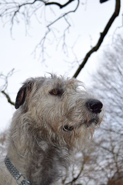 Animal Themes One Animal Mammal Outdoors Close-up Cold Temperature Domestic Animals Dog Showcase February 2017 Winter 2017 February 2017 Dogs Of Winter Dogwalk Dog Of The Day Dogs Of EyeEm Dogslife Irish Wolfhound Looking At Camera Portrait Cearnaigh Petscorner Pets Low Angle View Bare Tree