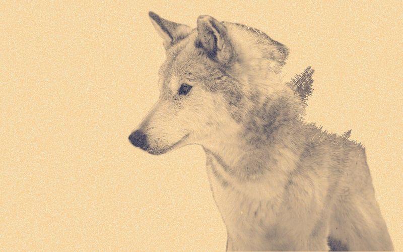Photoshop Photoshop Edit Wolf Forest Double Exposure