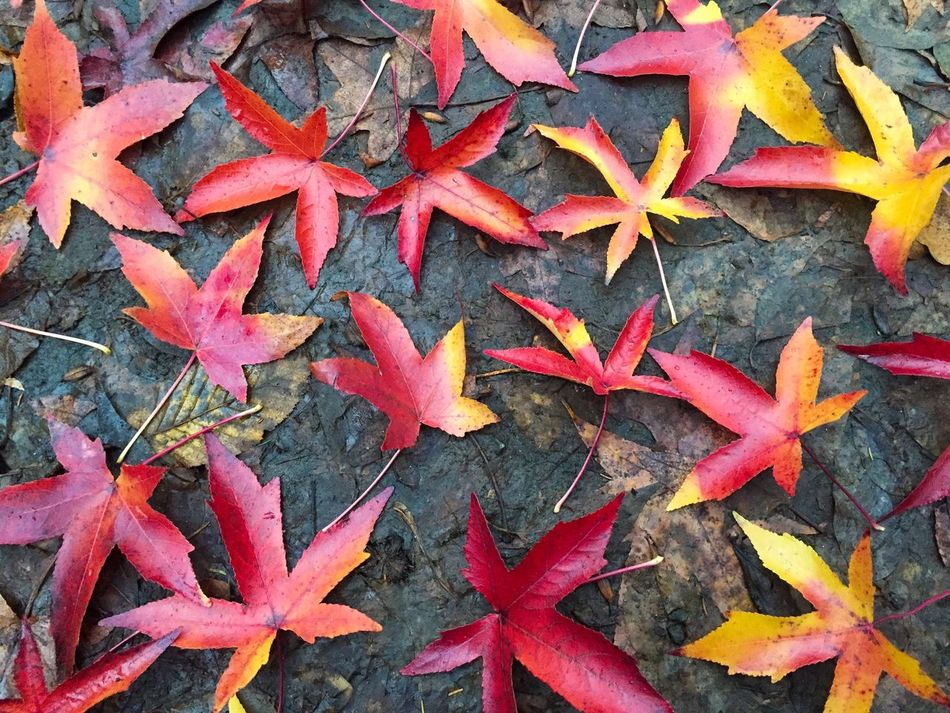 Colourful red and yellow autumn leaves on the ground Fall Autumn Leaves Fallen Ground Season  Change Nature Outdoors Park Forest Red Yellow Colorful Fallen Leaves Colors Life