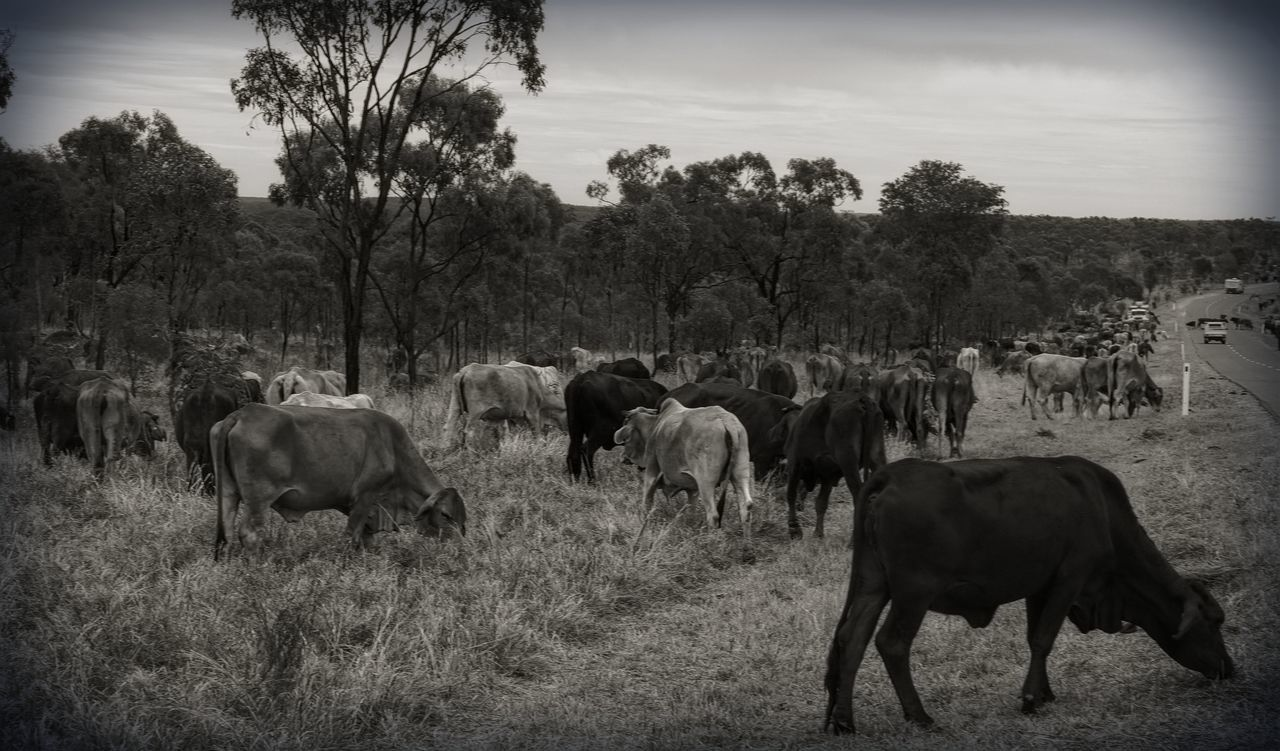 Black and white shot of cattle grazing on the roadside. Cattle drive. Beef Cattle Day Domestic Cattle Field Grazing Herbivorous Herd Landscape Livestock Medium Group Of Animals Outdoors Rural Scene The Long Paddock Tranquil Scene Tranquility