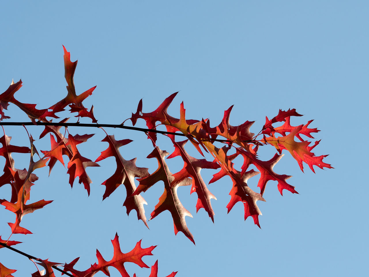 Flying Sky Red Clear Sky Low Angle View No People Nature Outdoors Day Leaves Leaves And Sky