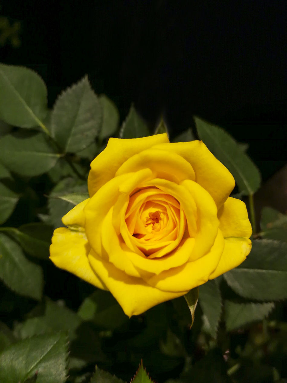 Beauty In Nature Blooming Close-up Day Flower Flower Head Fragility Freshness Growth Nature No People Outdoors Pedal Petal Plant Rose - Flower Roses Yellow Yellow Rose