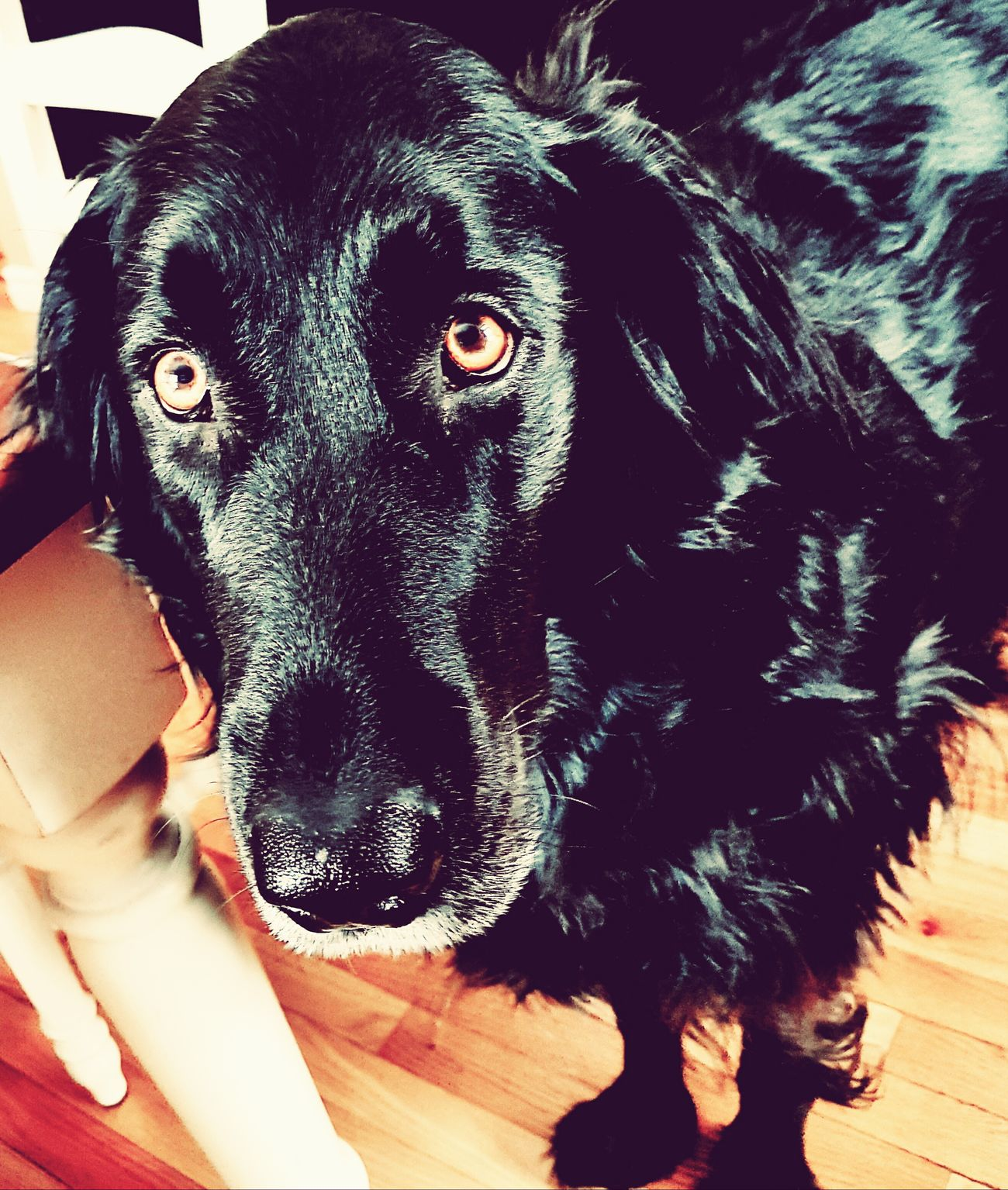 Moses Pets Domestic Animals Dog One Animal Animal Themes Looking At Camera Black Color Mammal Portrait Bonding Black Labrador Close-up Animal Eye Indoors  Day No People Dog❤ Dog Love Dogs Dogs Of EyeEm DogLove Doggy Love