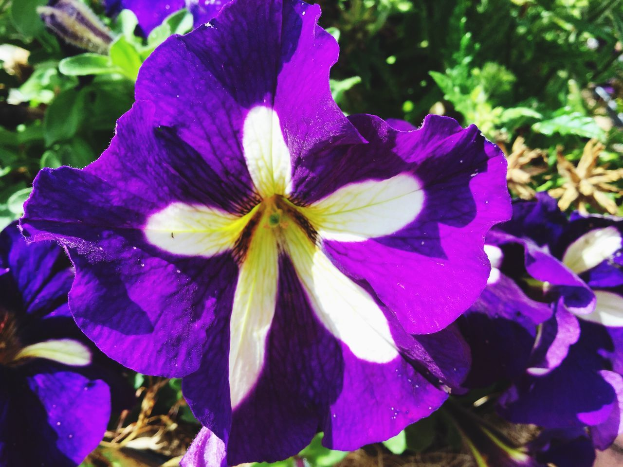flower, petal, purple, fragility, beauty in nature, growth, flower head, nature, freshness, day, outdoors, close-up, no people, iris - plant, blooming, petunia