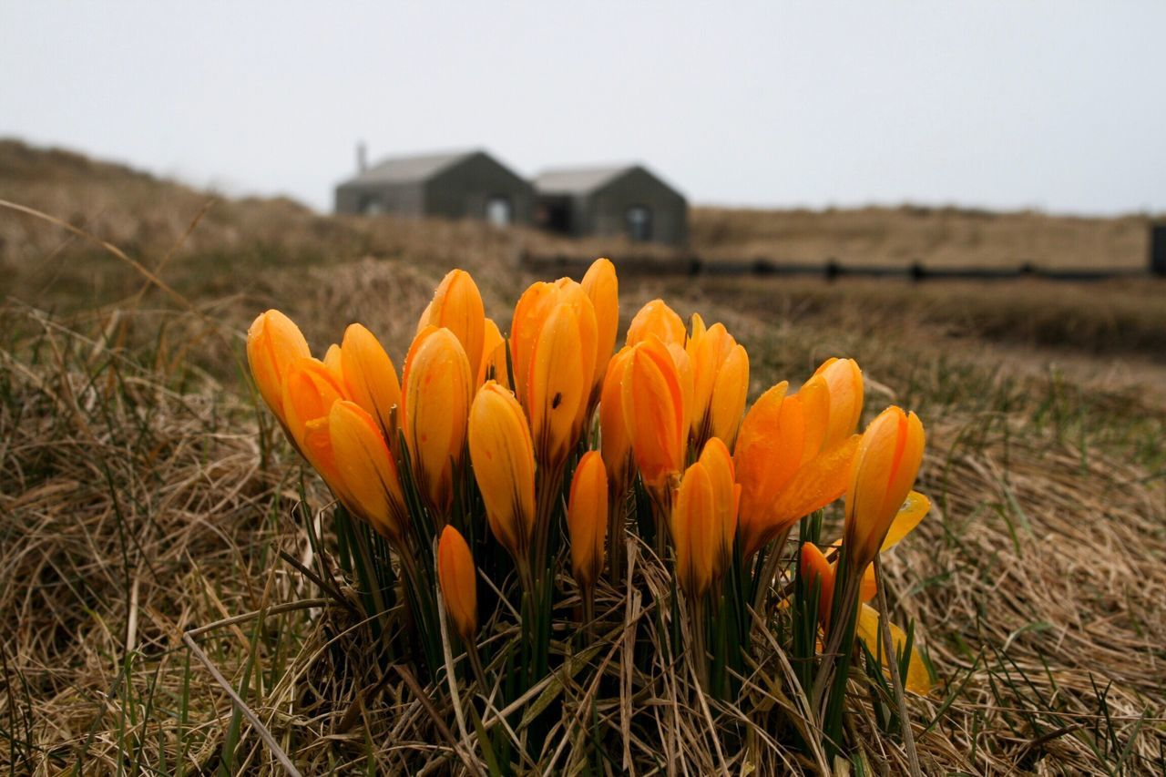 First signs of spring — Growth Nature Flower Beauty In Nature Plant Field No People Focus On Foreground Freshness Close-up Outdoors Fragility Agriculture Day Flower Head Sky Seaside Seascape Danmark Architecture Dunes Løkken