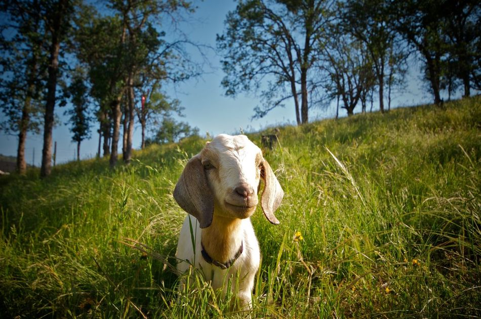 Beautiful stock photos of goat, Adult Animal, Animal Head, Animal Themes, Close-up