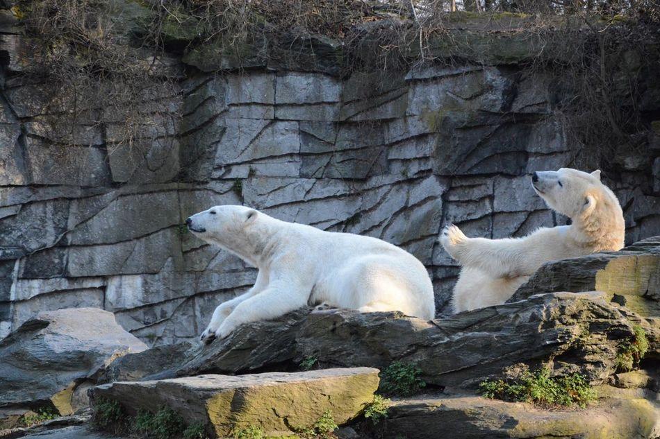 Beautiful stock photos of polar bear, Animal Themes, Animals In The Wild, Beauty In Nature, Berlin