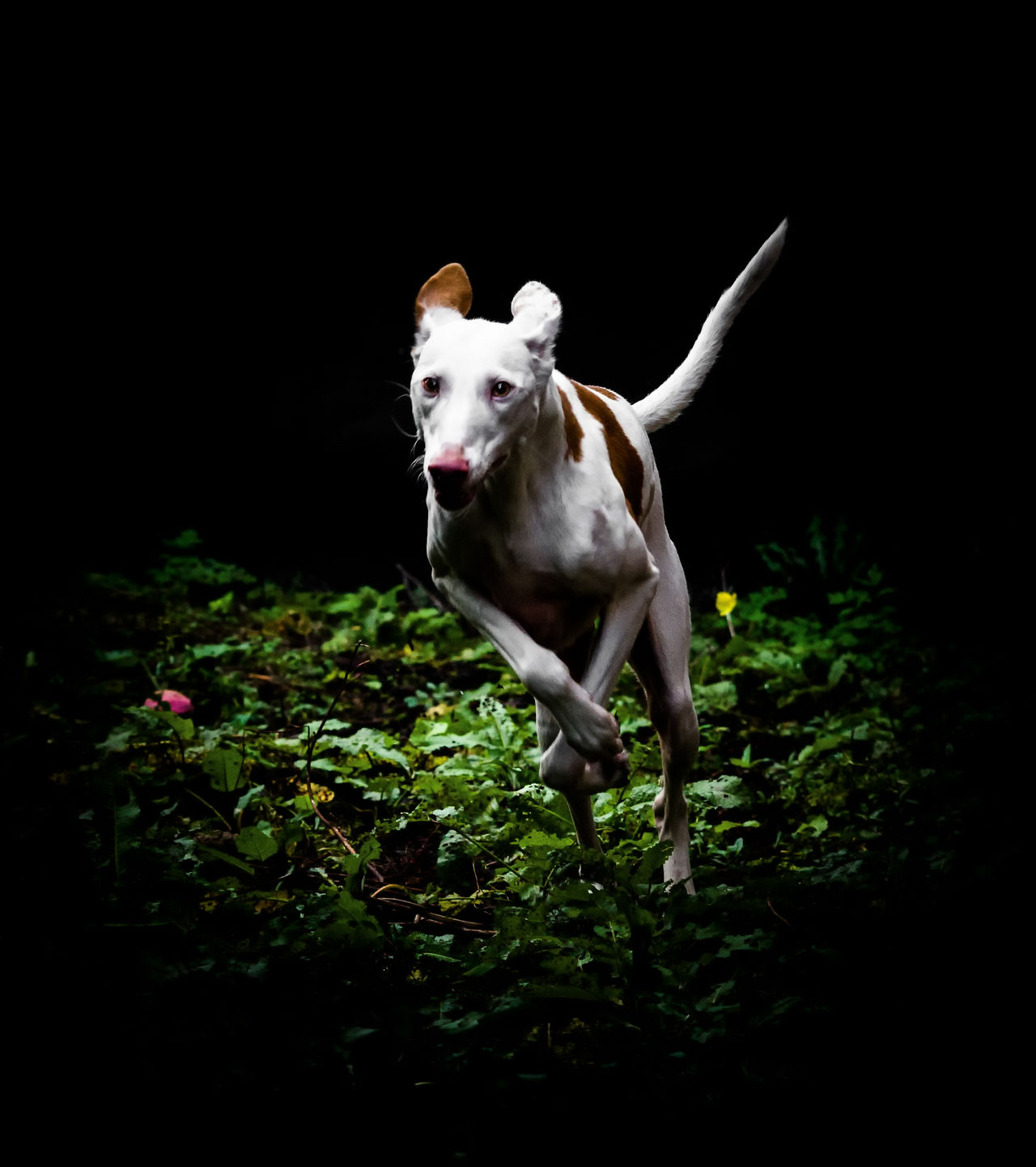 Podenco Ibicenco Animal Animal Themes Black Background Dog Domestic Animals Horizontal Ibizan Hound No People One Animal Pets Podenco Ibicenco