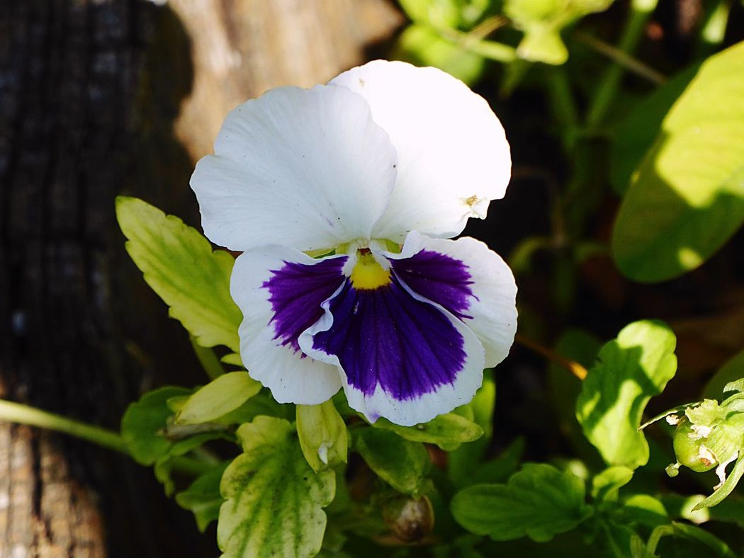 Italy🇮🇹 Moncalieri Viola Tricolor, Pansies Flower Collection Nature Nature Photography Details Of My Life A Lot Of Inspiration 📸 Colour Of Life, Garden Photography Taking You On My Journey 😎 Garden Detail Colour Of Life Colourful White And Blue Colour