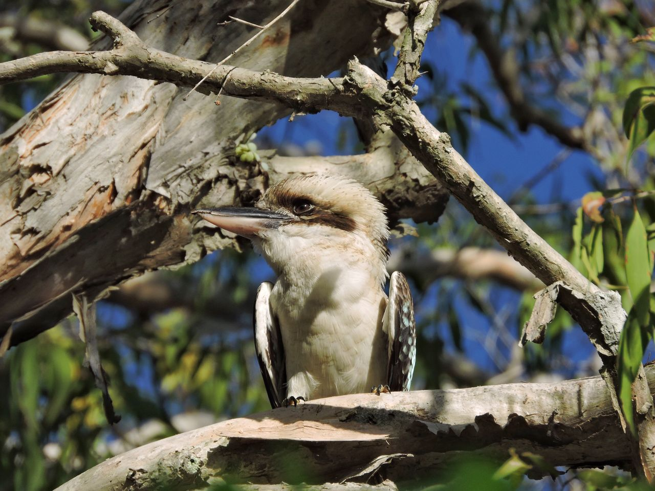 Australian Bird Kookaburra Animal Themes One Animal Animal Wildlife Tree Animals In The Wild Branch Perching Focus On Foreground Wood - Material Outdoors Day Nature No People Beauty In Nature Close-up Green Wildlife Photography Bird Photography Wildlife & Nature Wildlife Close Up Animals In The Wild