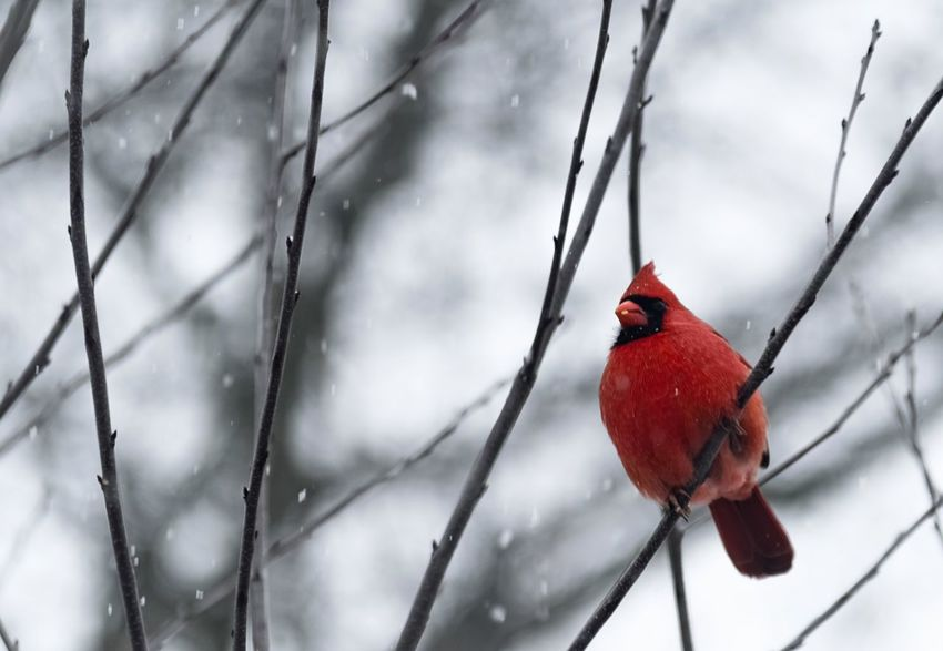 Cardinal in Snowstorm Cardinal Red Red Winter Snow Cold Temperature Animal Wildlife Animals In The Wild Bird Close-up Animal Themes Nature One Animal Tree No People Perching Beauty In Nature Branch Day Outdoors Shades Of Winter