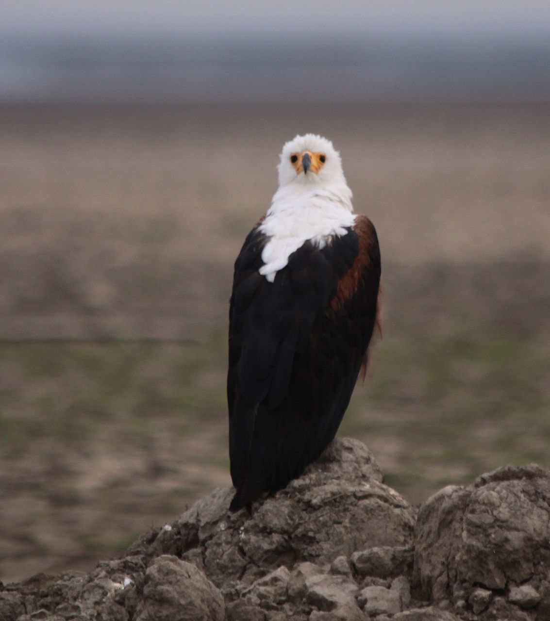 African Fish Eagle On Rock