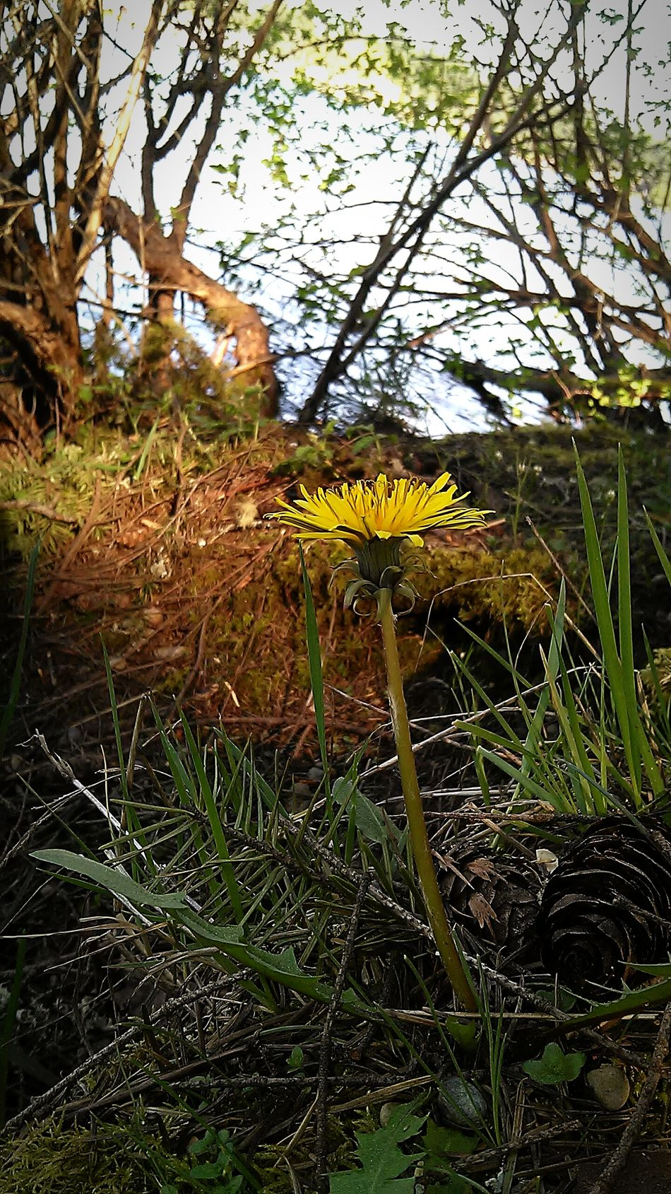 Washington State No People Vertical Dandelion Weeds Are Pretty Too! Nature Springtime Green Yellow Close-up Captivating Vivid Electric Lake Sawyer Maple Valley, WA Urban Spring Fever Showcase April USA
