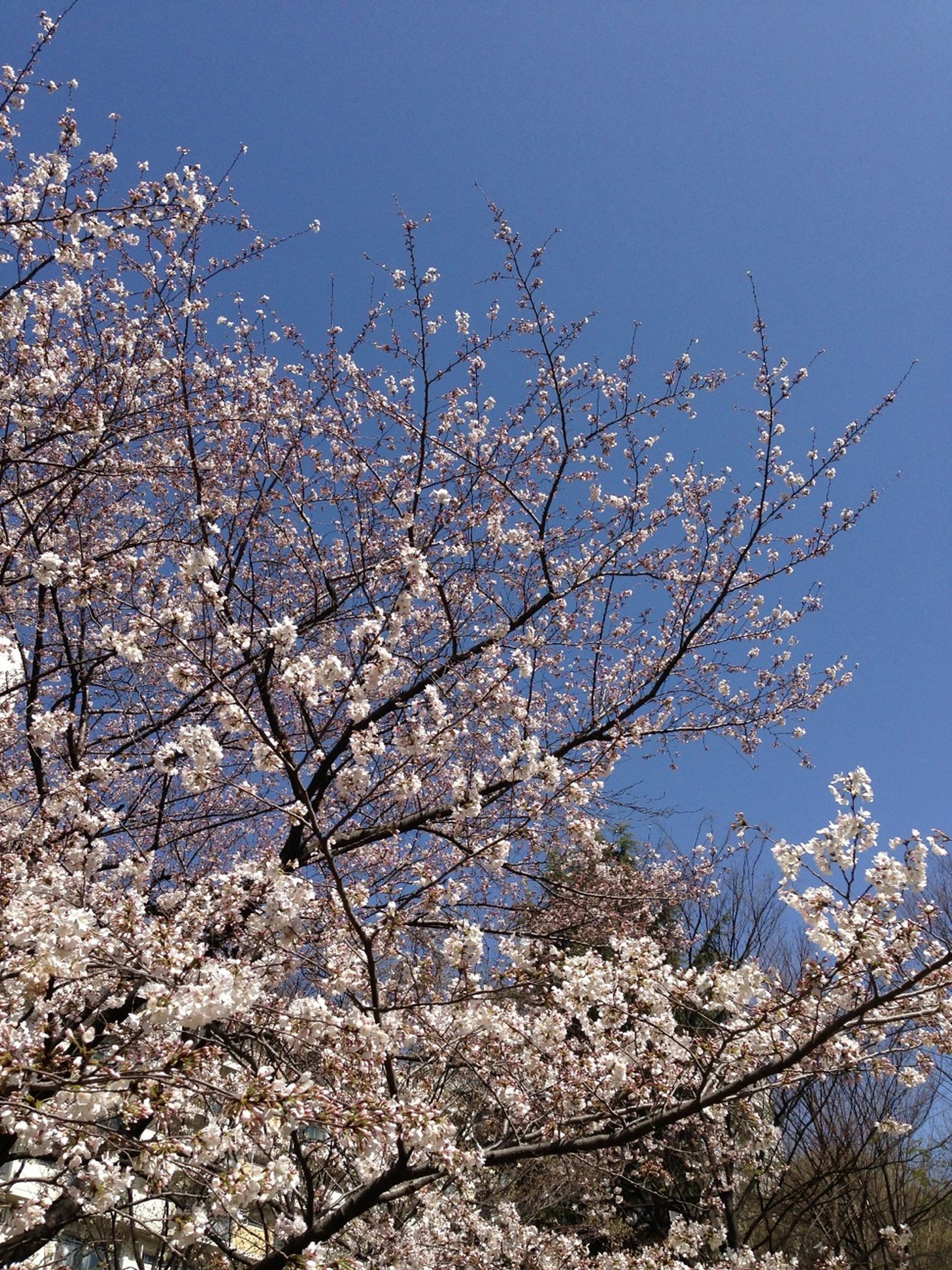 branch, tree, low angle view, flower, clear sky, growth, beauty in nature, freshness, nature, blossom, cherry blossom, cherry tree, fragility, sky, springtime, blue, bare tree, in bloom, outdoors, blooming