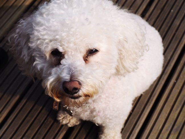 Doggo does a angry face Pet Dogs Dogslife Bichonfrise
