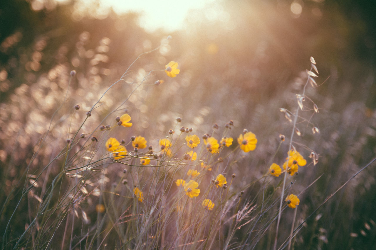 Beauty In Nature Countryside Field Flowers Focus On Foreground In Bloom Nature No People Outdoors Plant Sunlight Sunset Tranquility Uncultivated Weeds Wildflowers