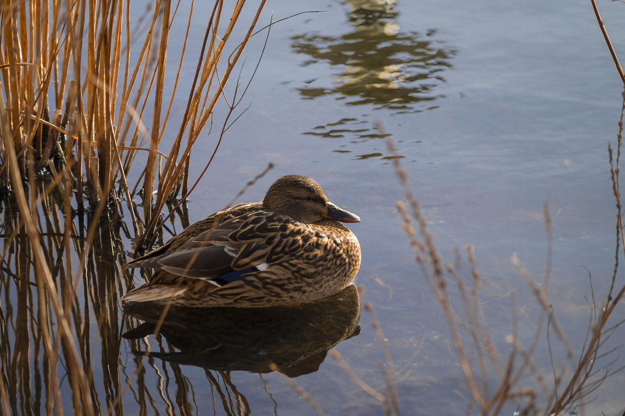 Beautiful stock photos of enten, Animal Themes, Animal Wildlife, Animals In The Wild, Beak