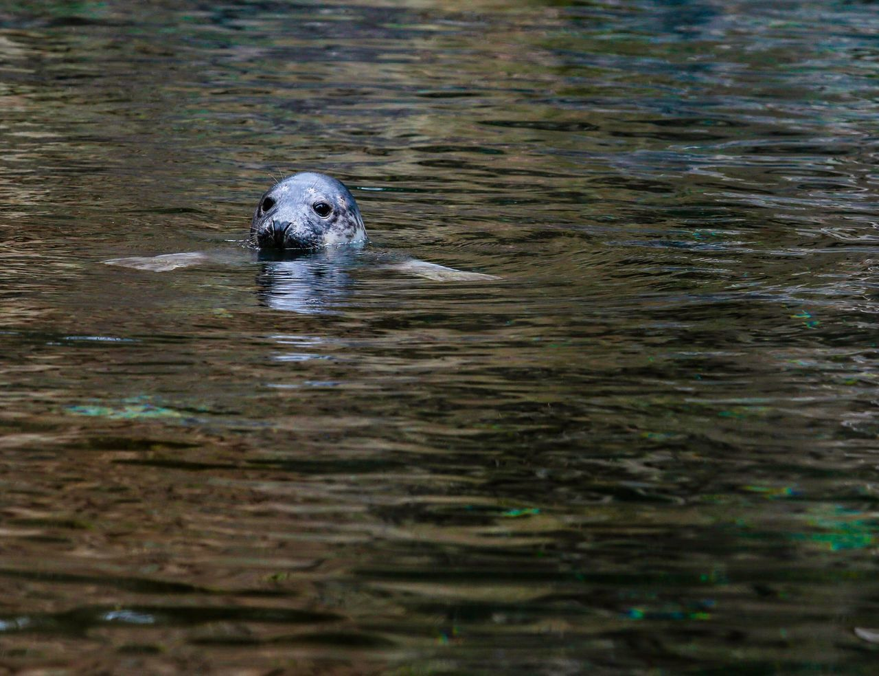 Waterfront Water One Animal Swimming Animal Themes Animals In The Wild Nature Day Outdoors Mammal No People Nature Low Angle View JGLowe Seal Sealife Curious Curiosity