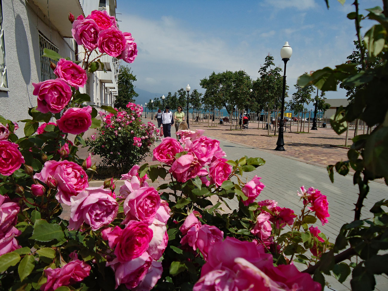 Rose frame. Alley Beautiful Blooms Exuberant Flourishing Flower Frame Flowers Foreground Focus Frame Freshness Lush May Novorossiysk Novorossiysk Roses Pink Pink Color Pink Rose Bush Quay Romantic Rose Bush Rose Frame Royal Spring Street