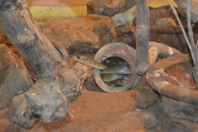 Snake Snake Eyes Snake Head Snake In Cage Snake In Pot Snake Skin Snake ♥ Snake! Snakeface Snakes Are Beautiful Snakeskin