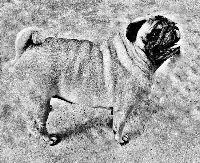 Dog Pug Love Animal Lar Compania Boa ❤