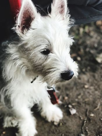 One Animal West Highland White Terrier Domestic Animals